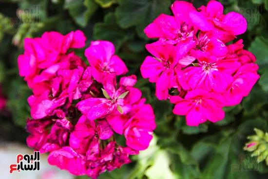معرض زهور الربيع (24)