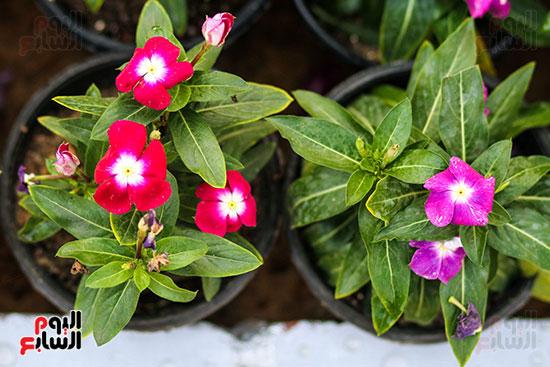 معرض زهور الربيع (11)