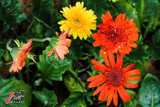 معرض زهور الربيع (27)
