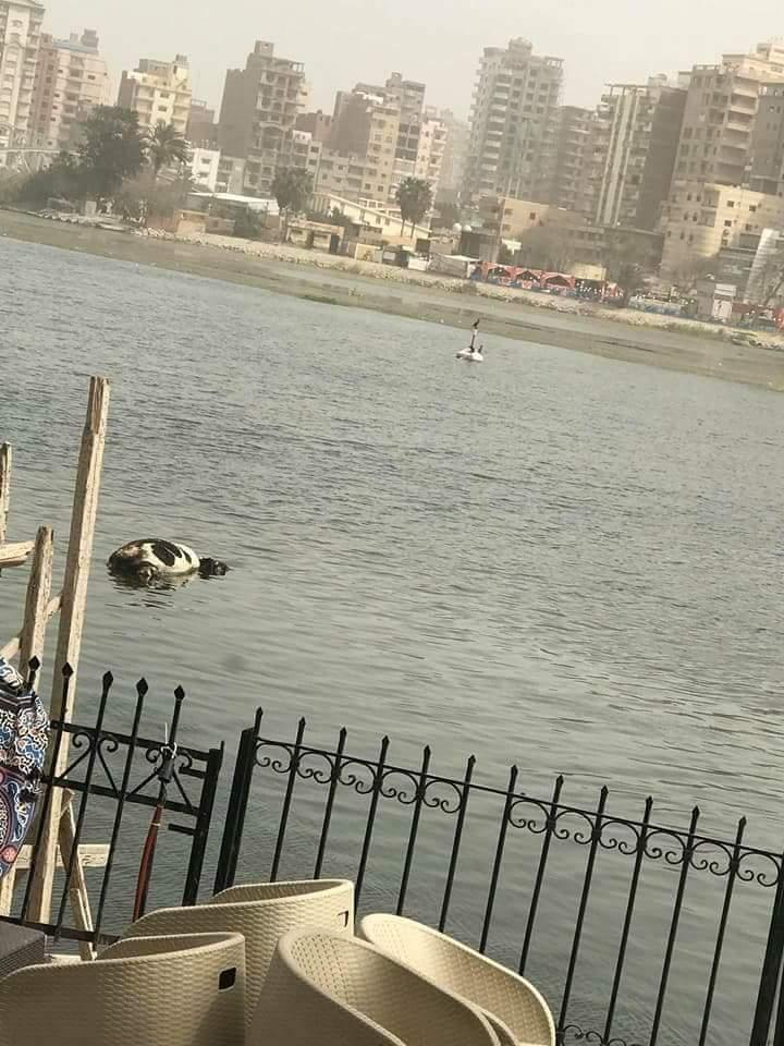 بقره نافقه بمياه النيل