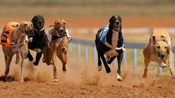 سباق الكلاب