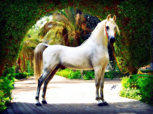 الحصان 1