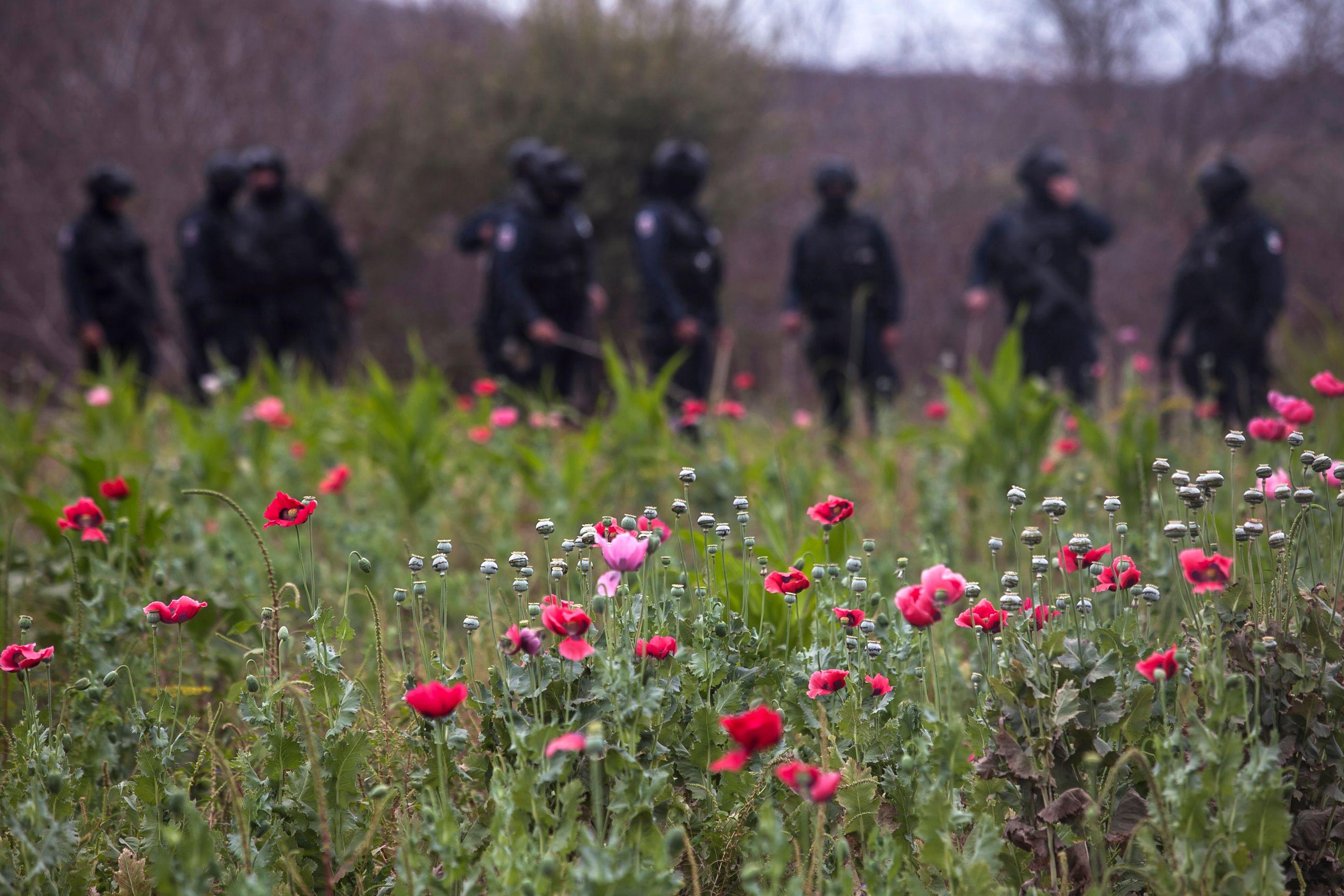 الشرطة المكسيكسية وسط نبات الخشخاش