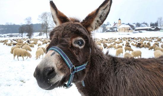 حمار مع الأغنام وسط الثلوج فى ألمانيا