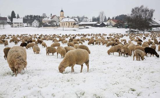 حيوانات وسط الثلوج فى ألمانيا