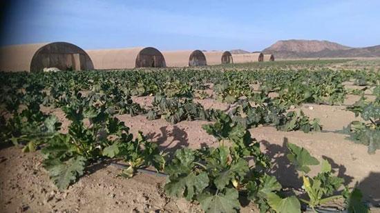 زراعة وادى القويح بالقصير  (4)