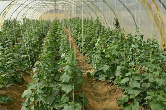 زراعة وادى القويح بالقصير  (1)