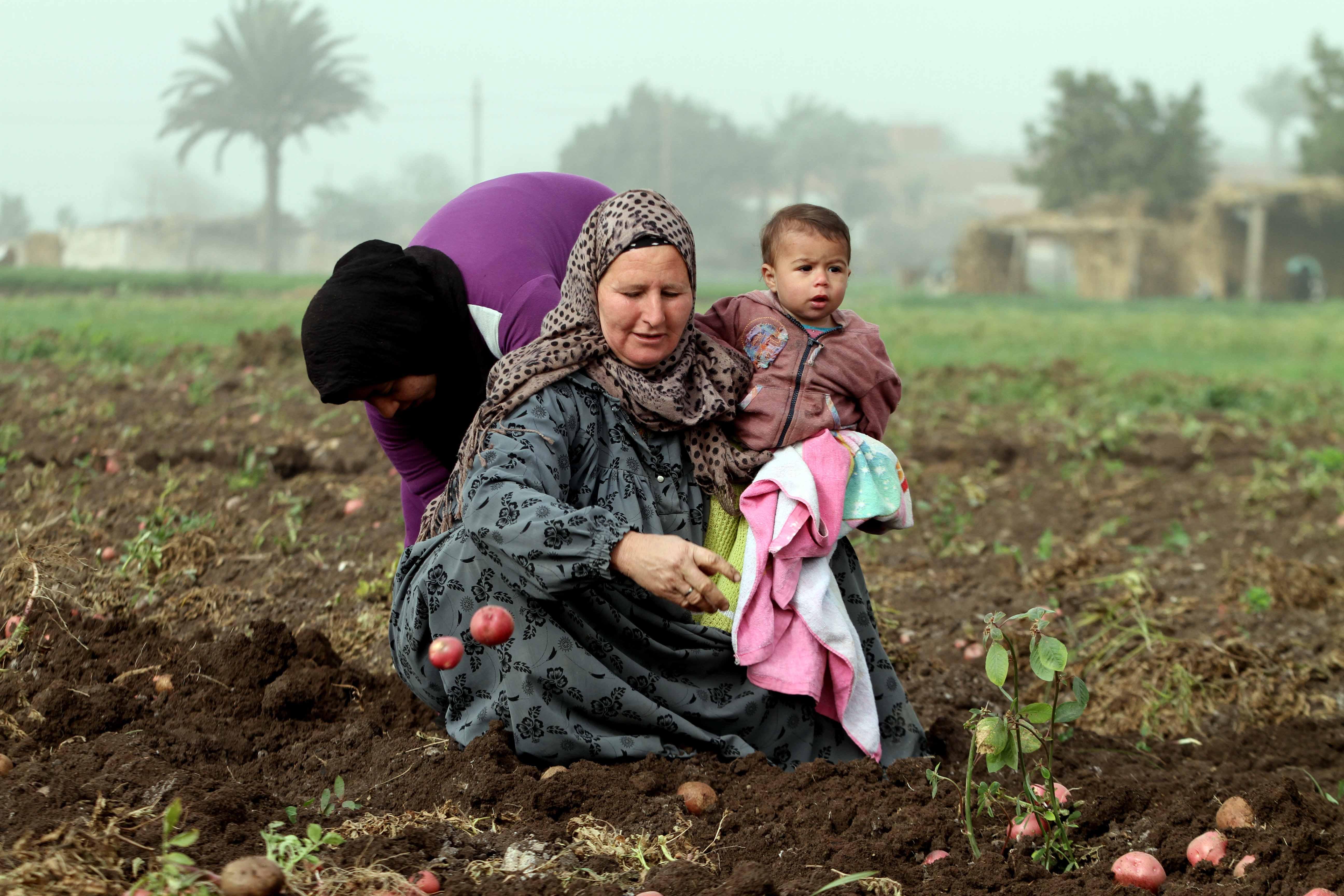 تحقيق عن جنى البطاطس تصوير خالد كامل 22-1-2016 (15)
