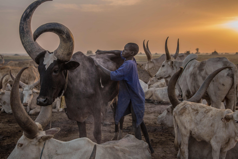رعي الحيوانات فى ذروة موسم الجفاف بجنوب السودان