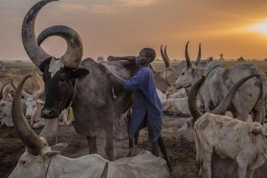 رعي-الحيوانات-فى-ذروة-موسم-الجفاف-بجنوب-السودان