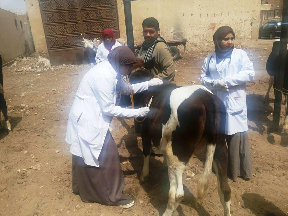 قافلة بيطرية للكشف على الحيوانات بسوهاج (4)