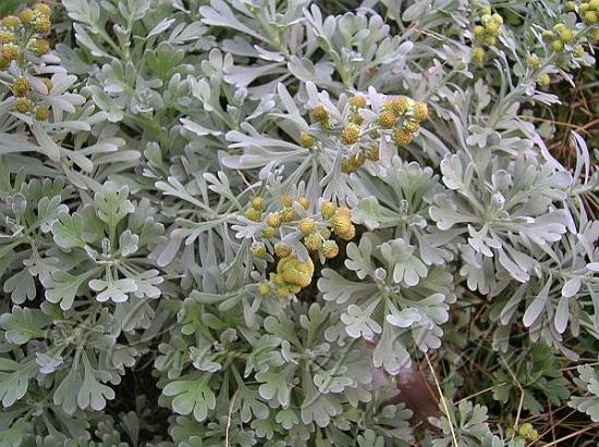 نبات الشيح2