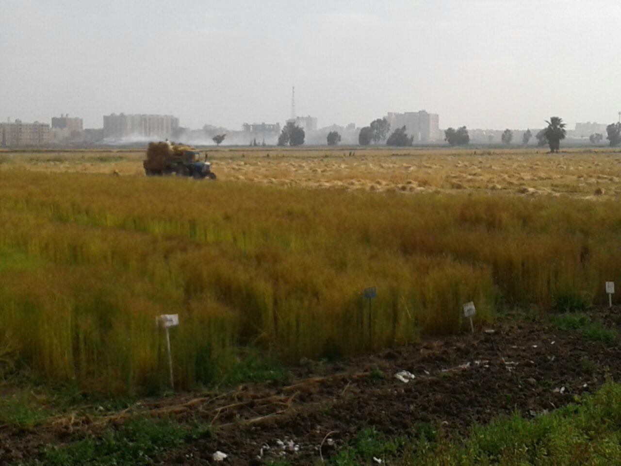 حصاد الكتان  (4)