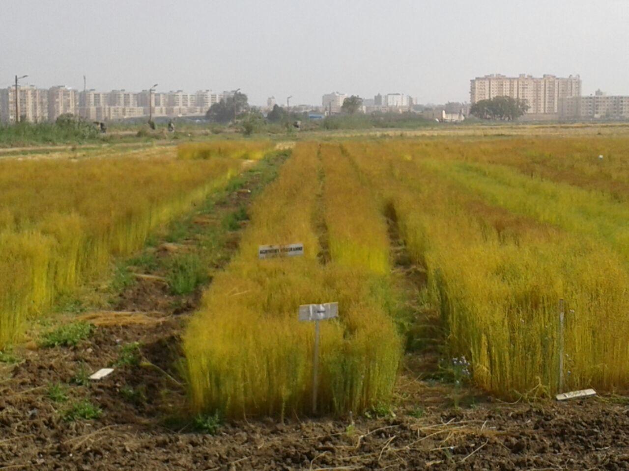 حصاد الكتان  (3)