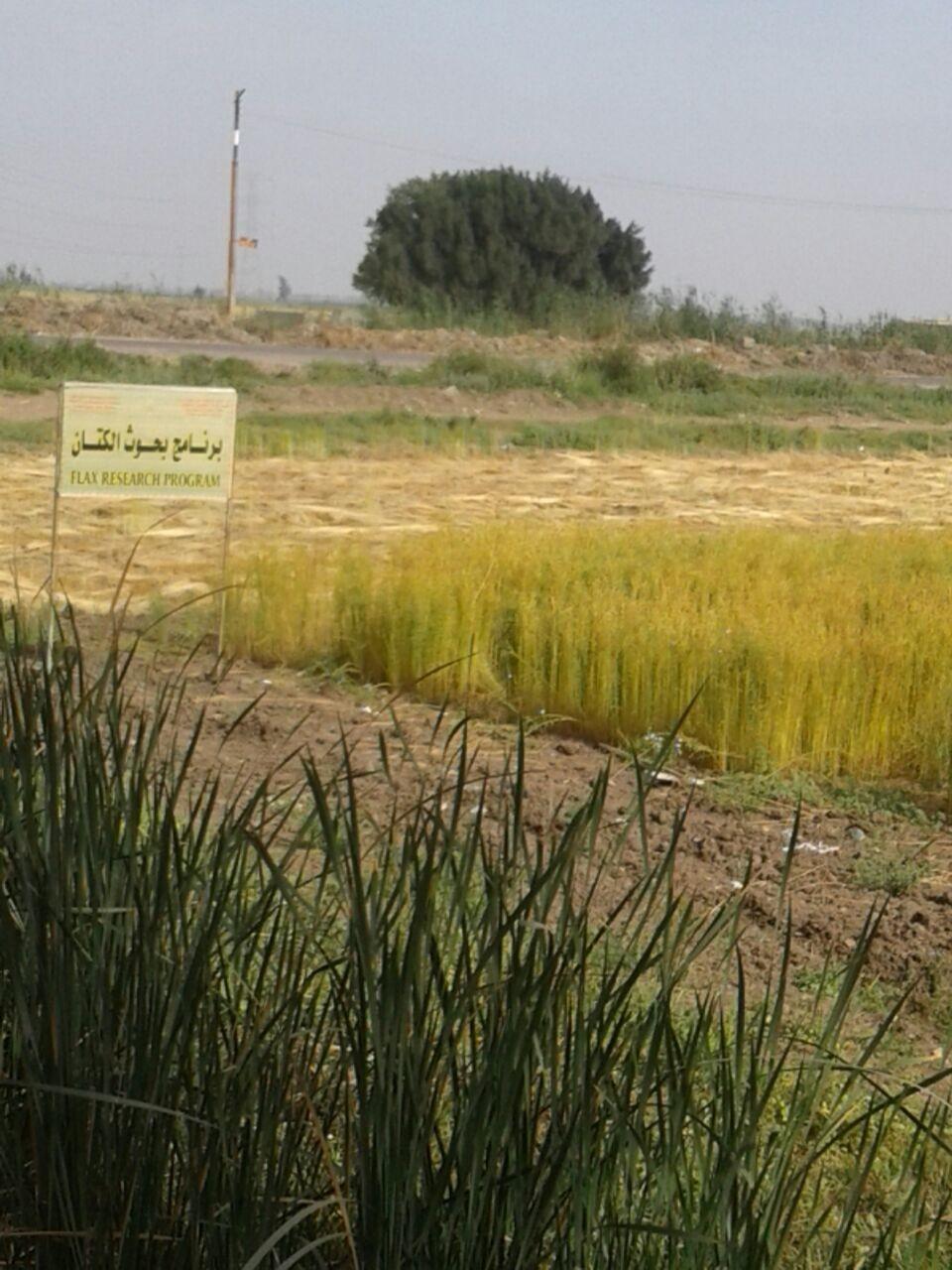 حصاد الكتان  (14)