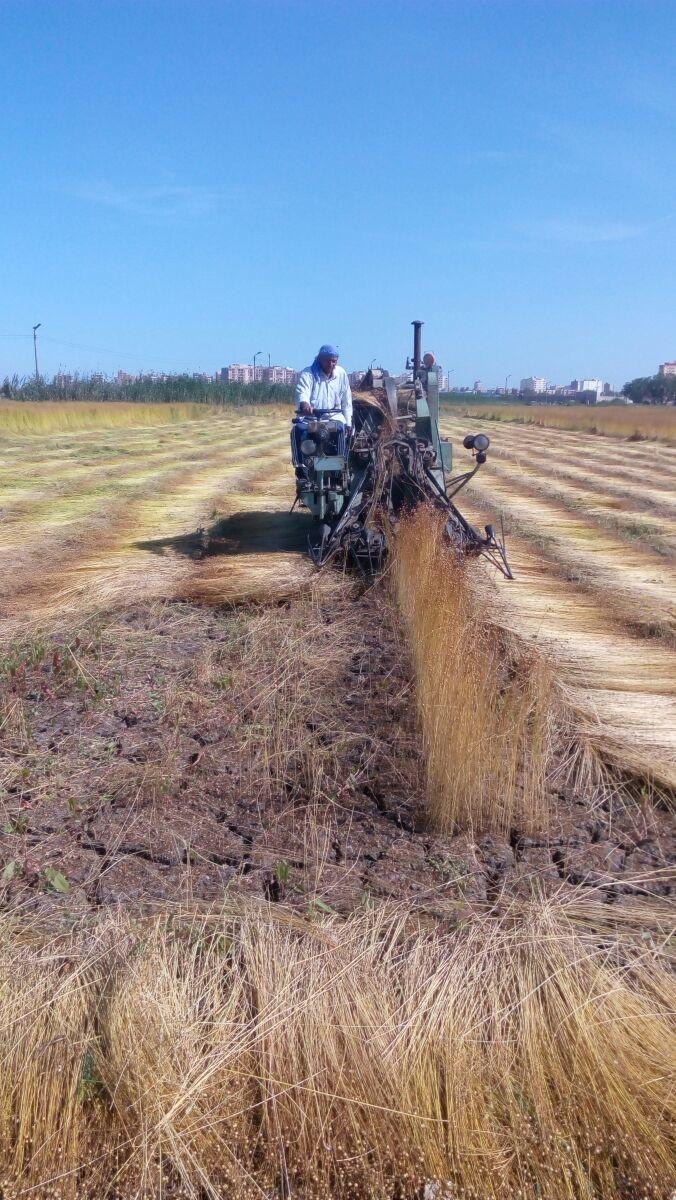 حصاد الكتان  (12)