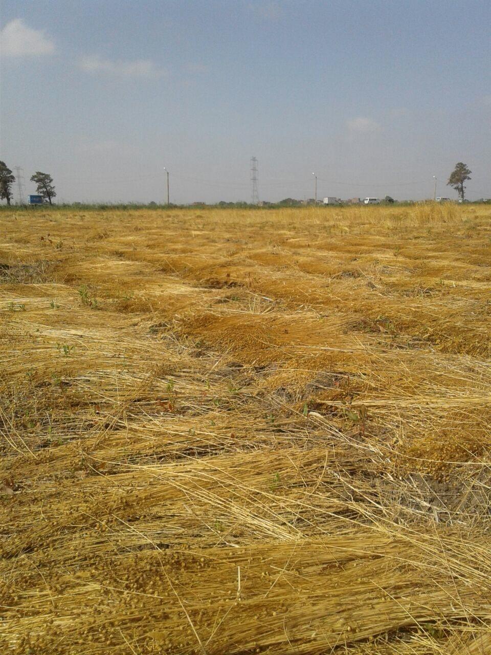 حصاد الكتان  (6)