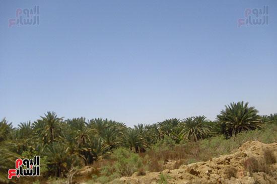 أهالى الواحة يعتمدون على زراعة النخيل والزيتون