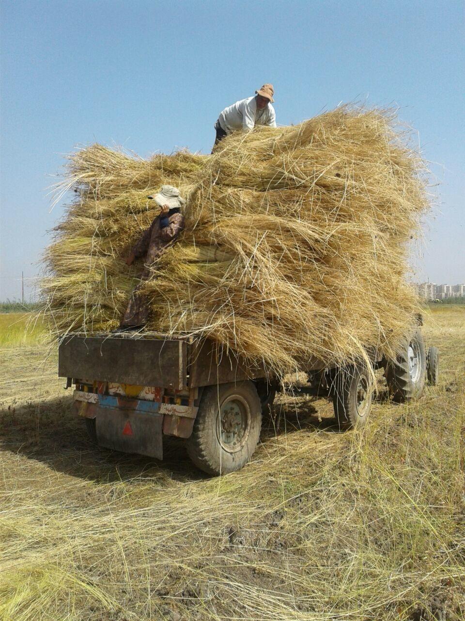 حصاد الكتان  (2)