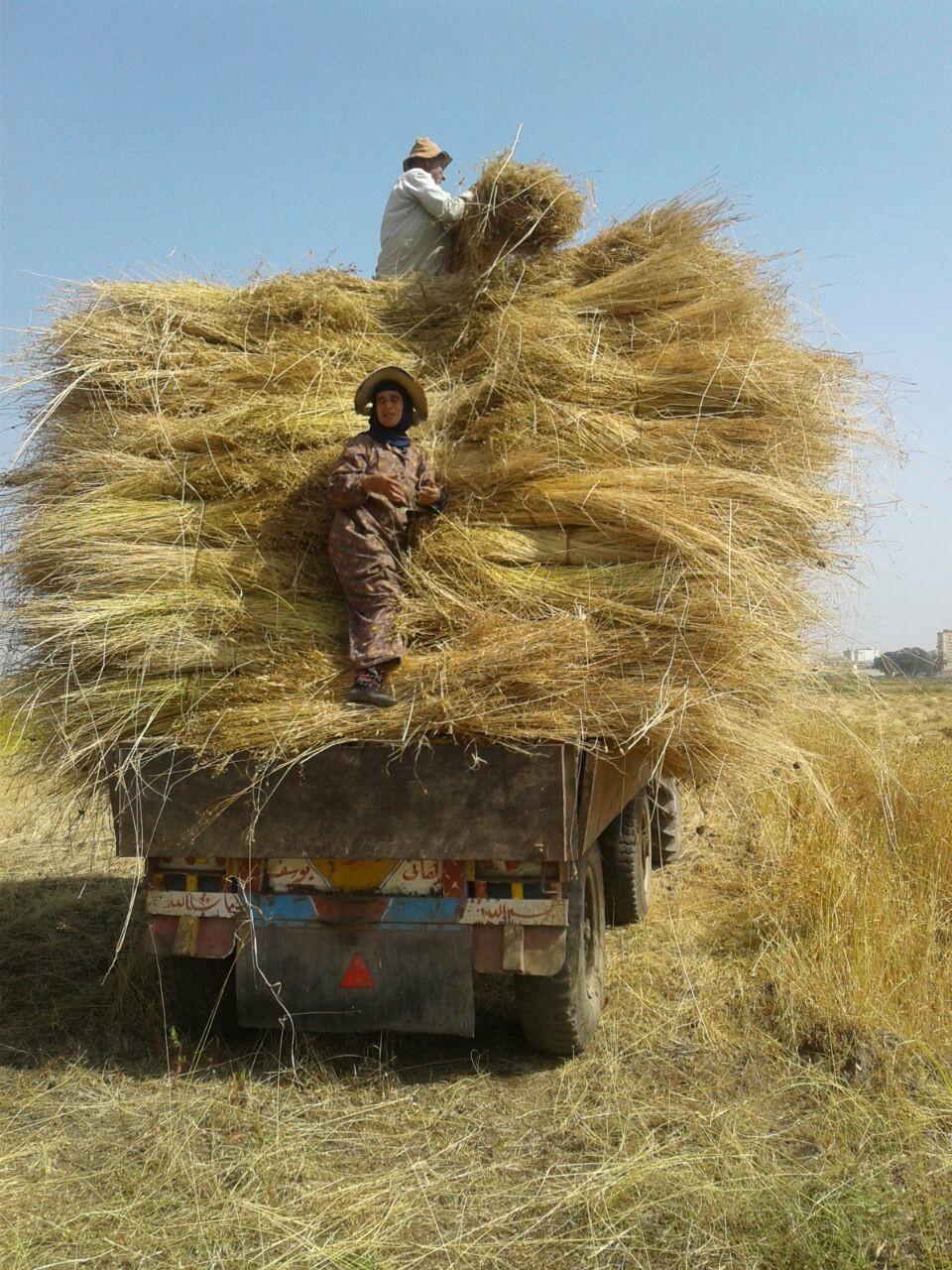 حصاد الكتان  (1)