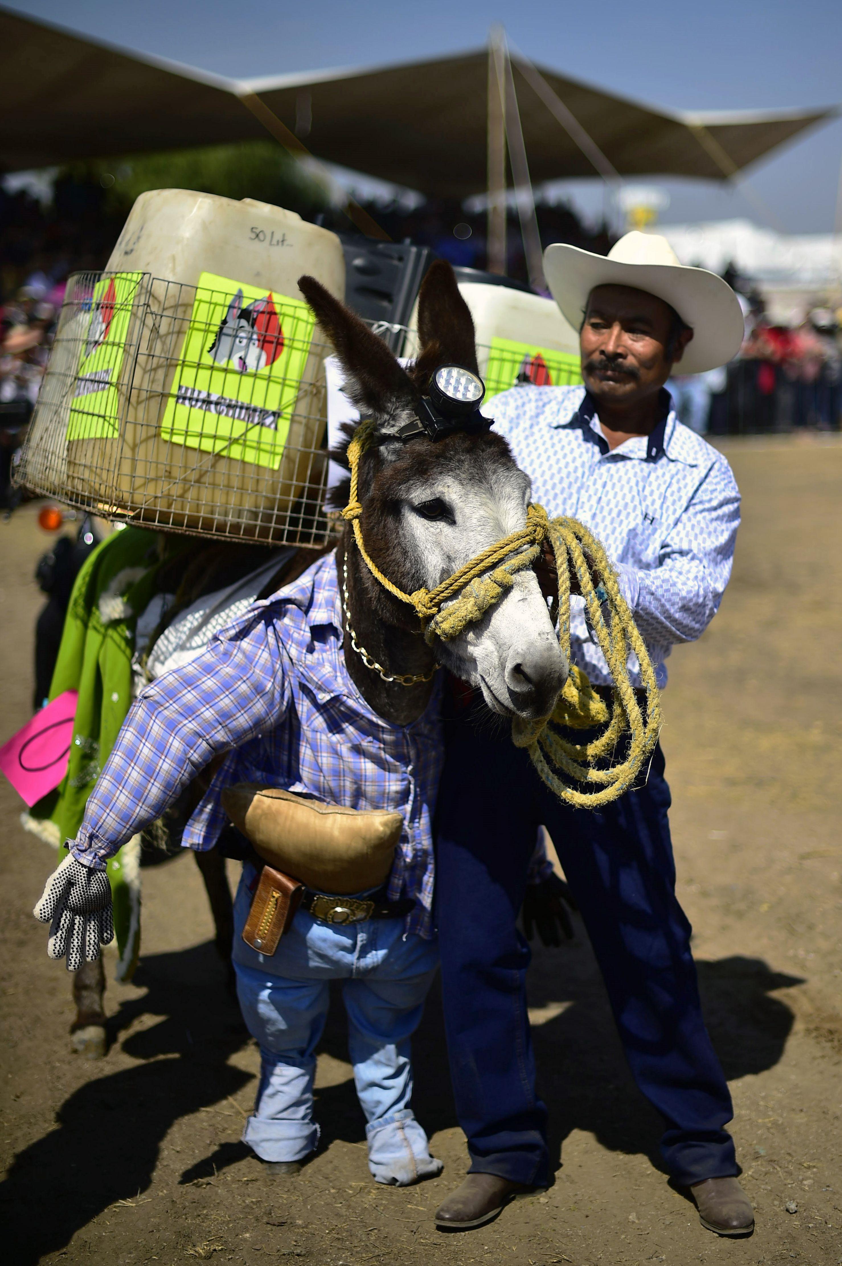 مهرجان الحمير في المكسيك