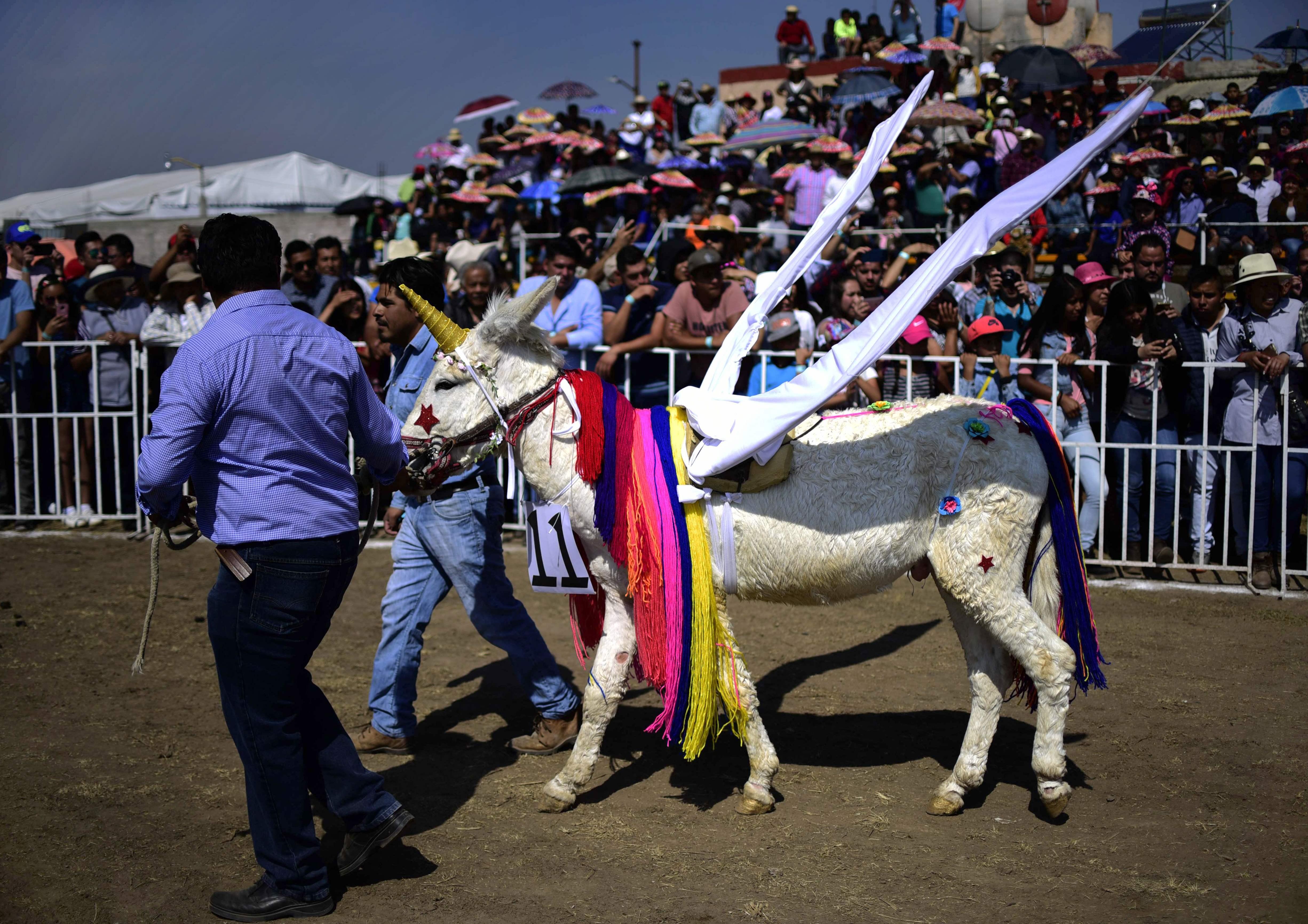مهرجان المكسيك للحمير