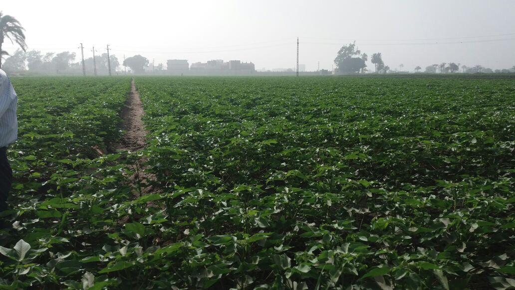 ارض منزرعة بمحصول القطن