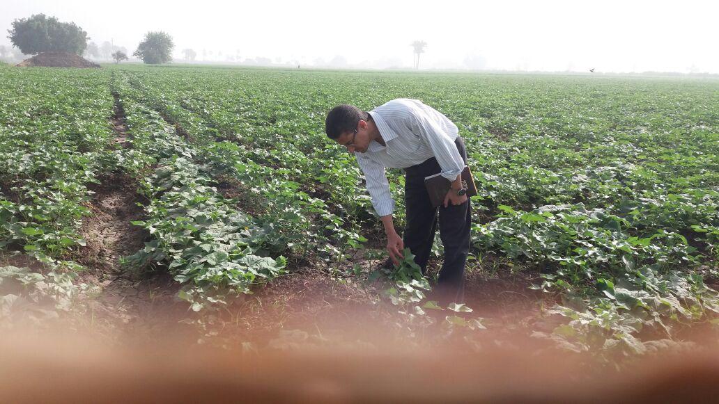 زراعة الاقطان المصرية