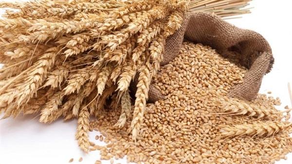 القمح الروسى يصيبه فطر الارجوت