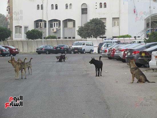 الكلاب تسير مجموعات وسط الطريق  العام  تكشر عن أنيابها