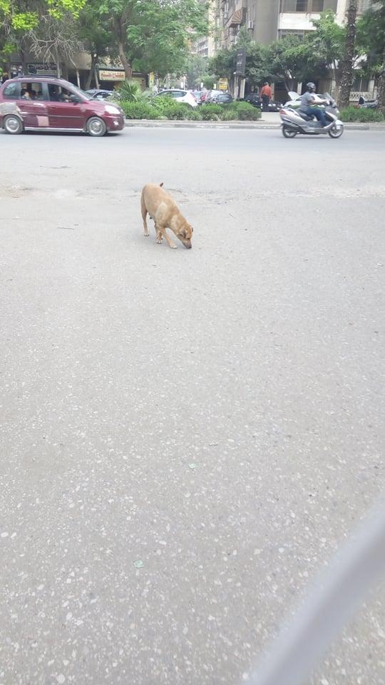 الكلاب الضالة فى الزيتون  (1)