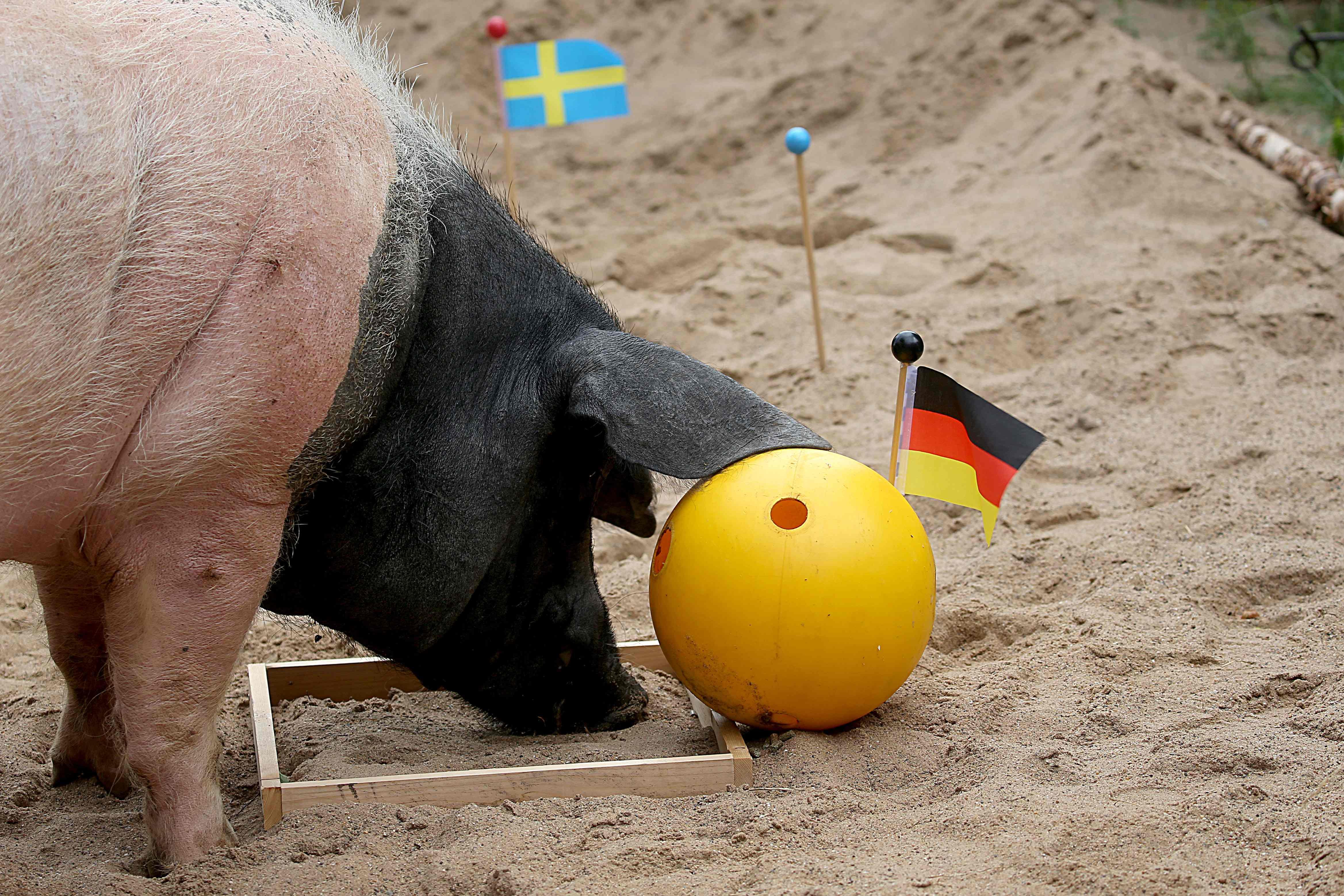 الخنزير هارى يتنبأ بفوز ألمانيا فى مواجهة السويد