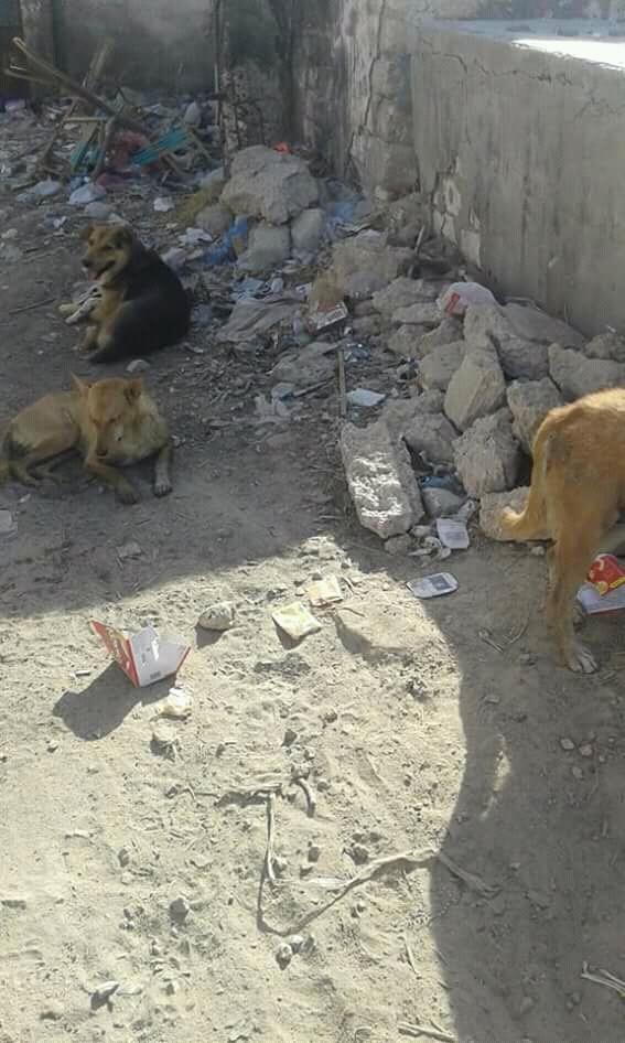 الكلاب الضالة بمقابر نجع عبد الرؤوف