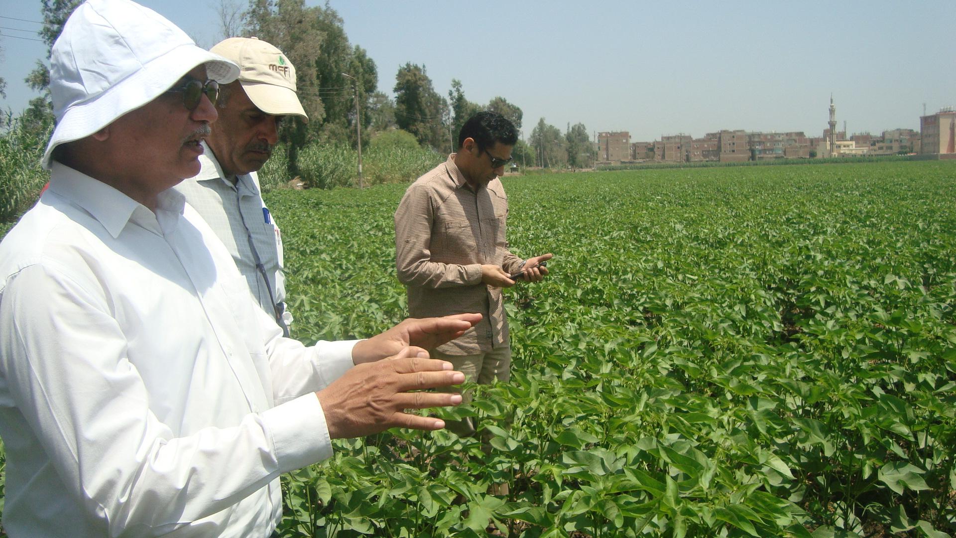 الدكتور عباس الشناوى  رئيس قطاع الخدمات الزراعية   يتفقد محصول القطن