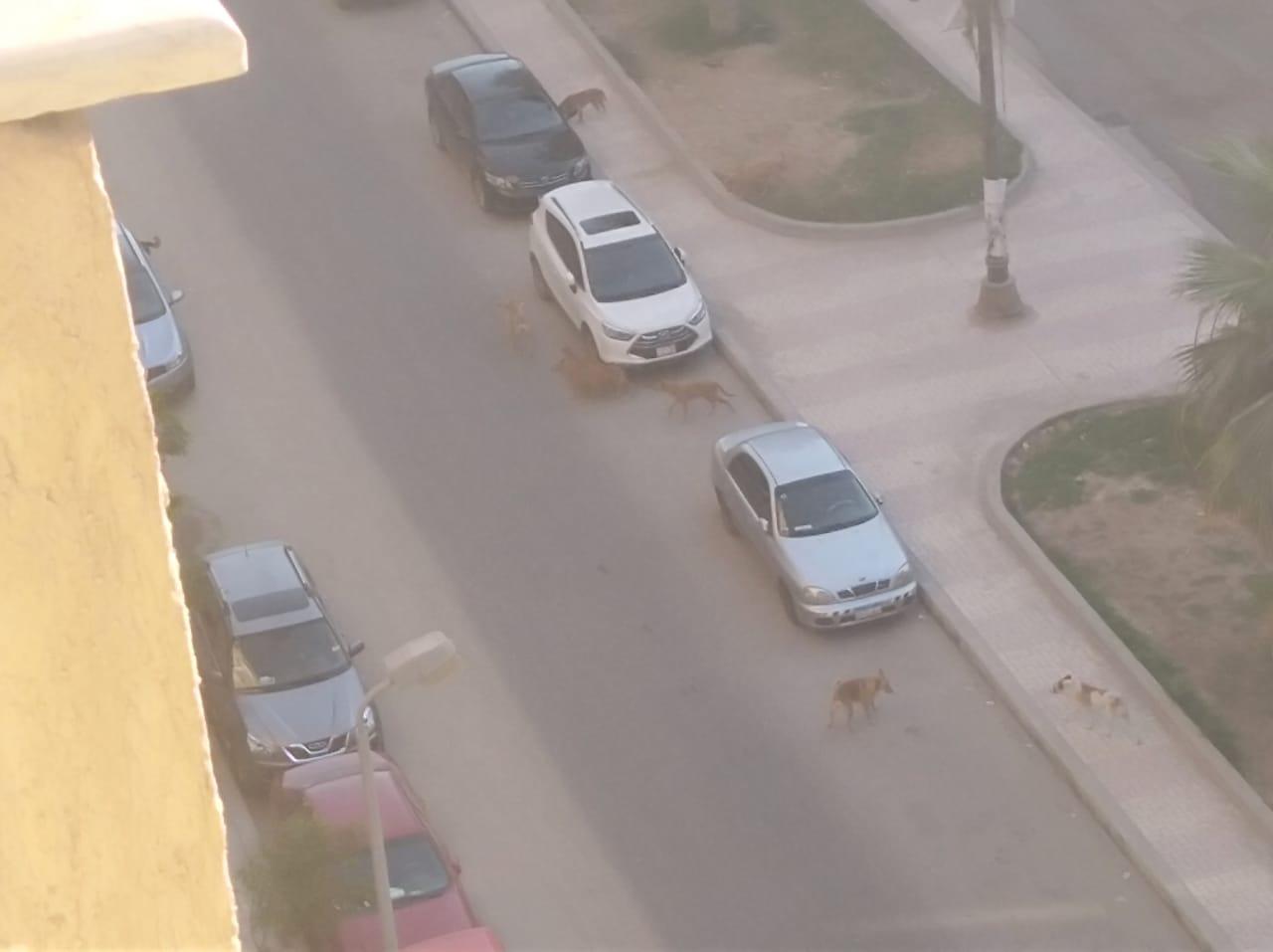 الكلاب الضالة غرب الإسكندرية  (3)