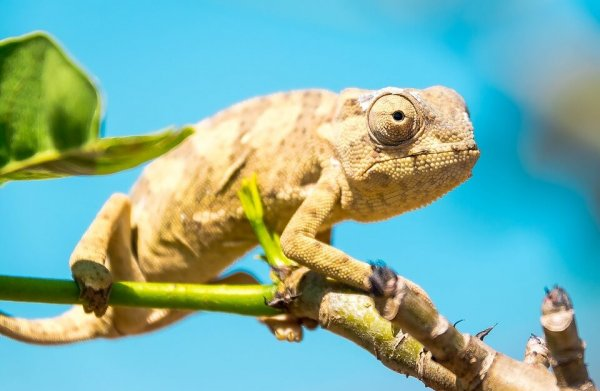 chameleon-600x391