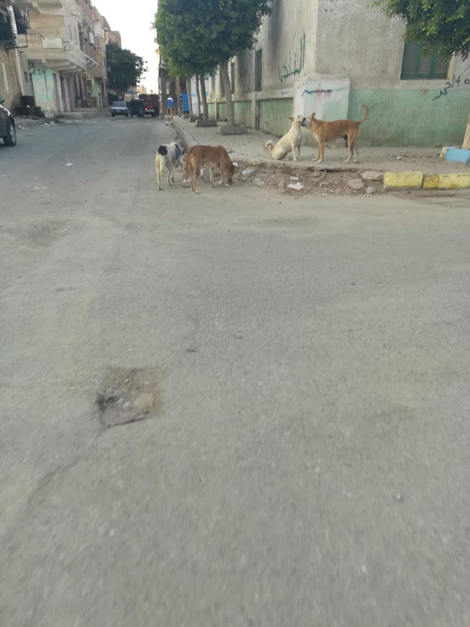 الكلاب الضالة بالقنطرة  (3)