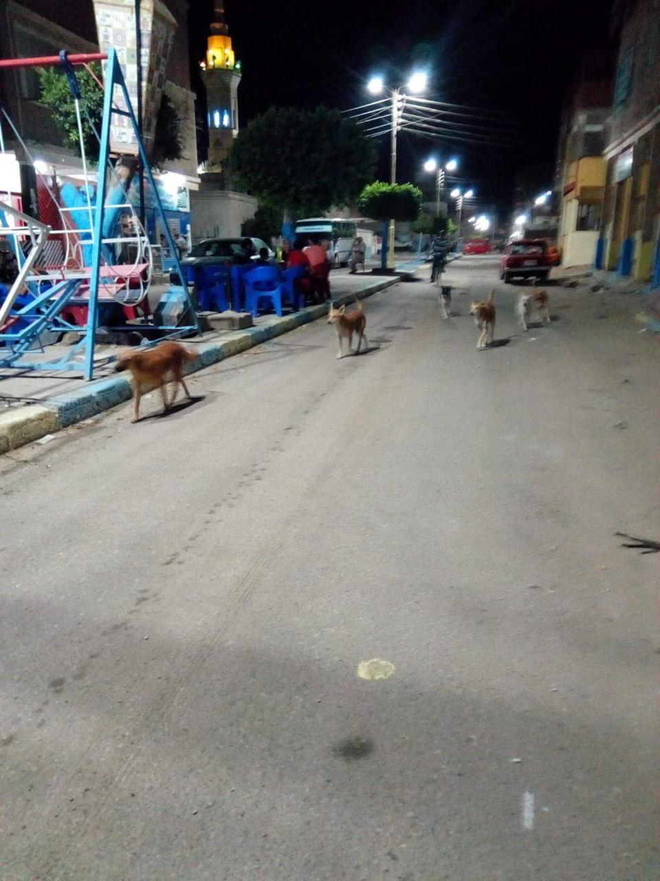 الكلاب الضالة بالقنطرة  (4)