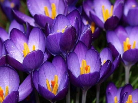 زهرة البنفسج6