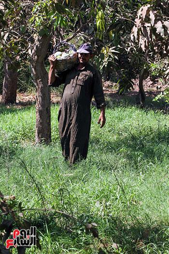صور حصاد المانجو (28)