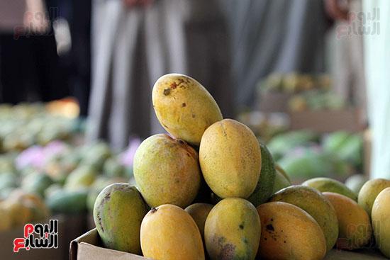 صور حصاد المانجو (8)