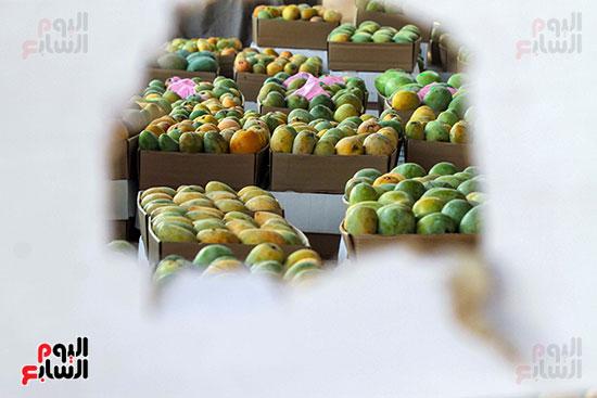 صور حصاد المانجو (54)