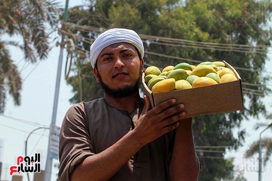 صور حصاد المانجو (36)