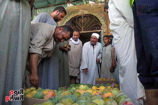 صور حصاد المانجو (11)