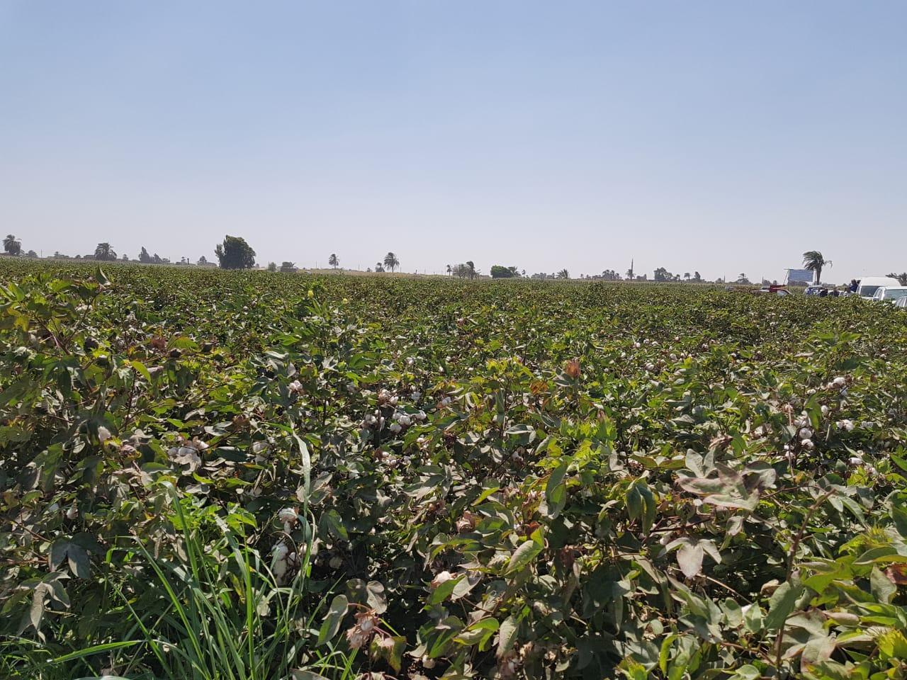 وزير الزراعة ومحافظ المنيا بموسم جنى القطن (3)