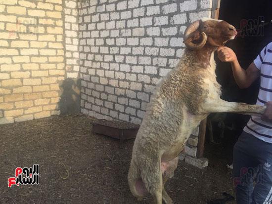 خروف العيد  (2)