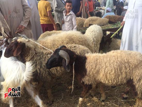 خروف العيد  (6)