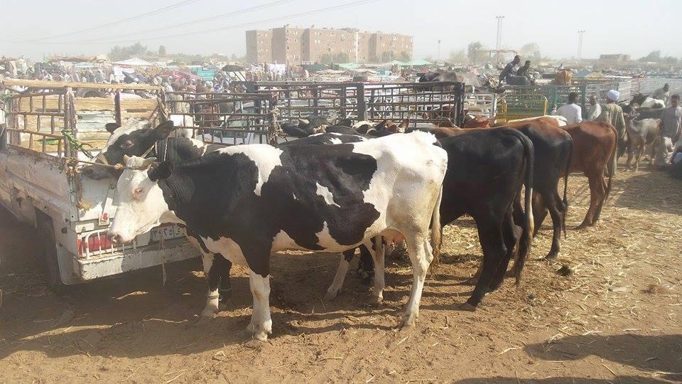 انتشار الابقار والعجول فى أسواق الماشية بالأقصر