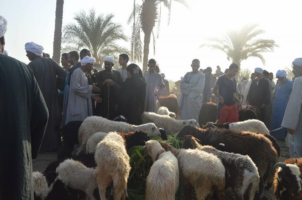 الاهالى يتوافدون على أسواق الماشية لشراء أضحية العيد