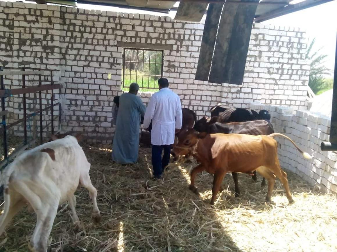 تحصين الأبقار والعجول